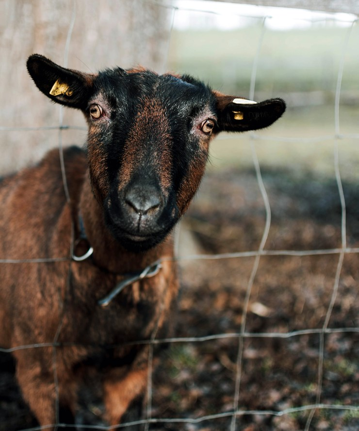 Inexpensive Maintenance | Goats Are Underrated: Reasons You Need Goats