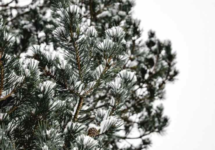 Green pine tree with snow | Winter Foraging | Guide to Foraging Winter Survival Food