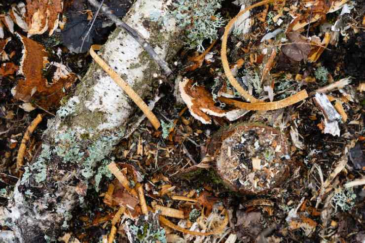Close-up of a forest in Llatvia clearing with felled | Military perimeter alarM
