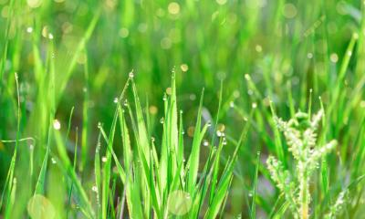 green fresh grass dew drops photo for abstract background | How To Collect Dew Water For Survival | featured