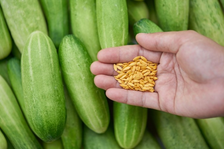 Cucumber seeds in hand-seed starting