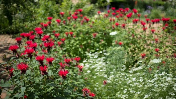 Red bee balm flowers | Mosquito repellent plants