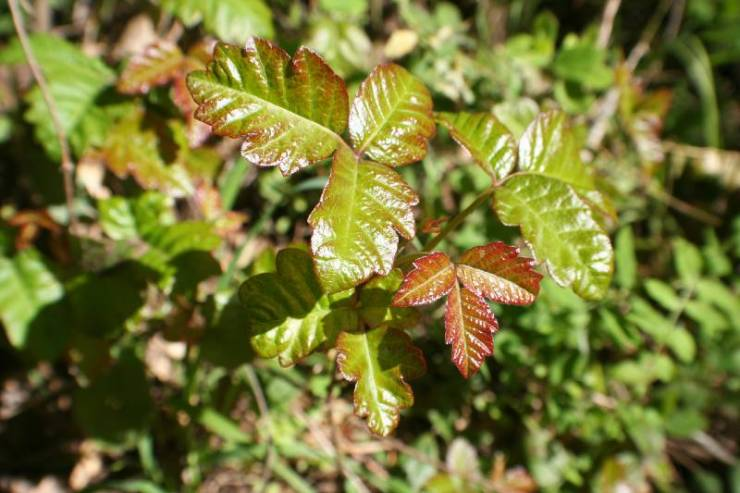 Poison Oak Leaves Close Up For Plant Identification-Common Poisonous Plants