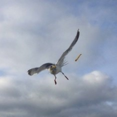 Seagull eating french fries