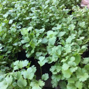 Almácigos de cilantro de Sur vivero
