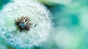 Dandilion Photo