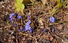 Blåsippor... vårens budbärare...