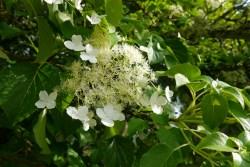 Klätterhortensians blomma