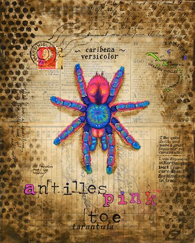 tarantula-antilles-pink-toe-72Resized