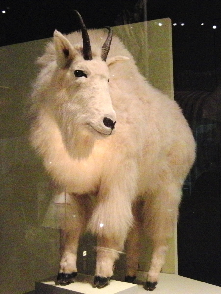 Mountain_goat_Stuffed_specimen