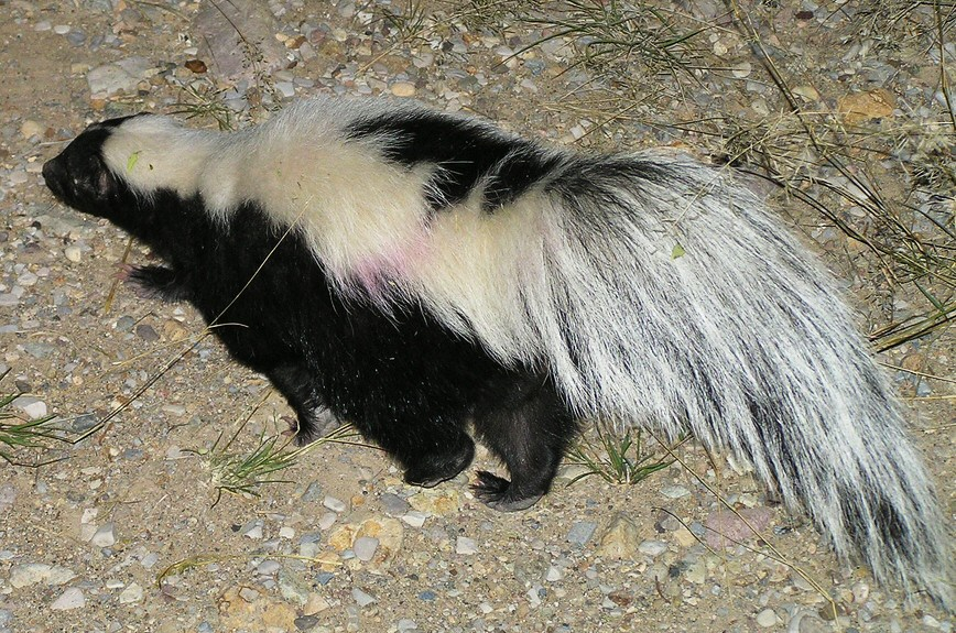 Striped_Skunk_Big_Bend_NP