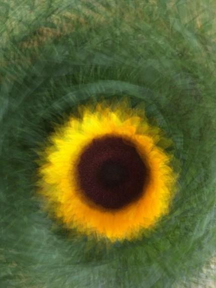 sharp-zoom-sunflower