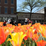 Tulips at Tulip Time in Holland MI