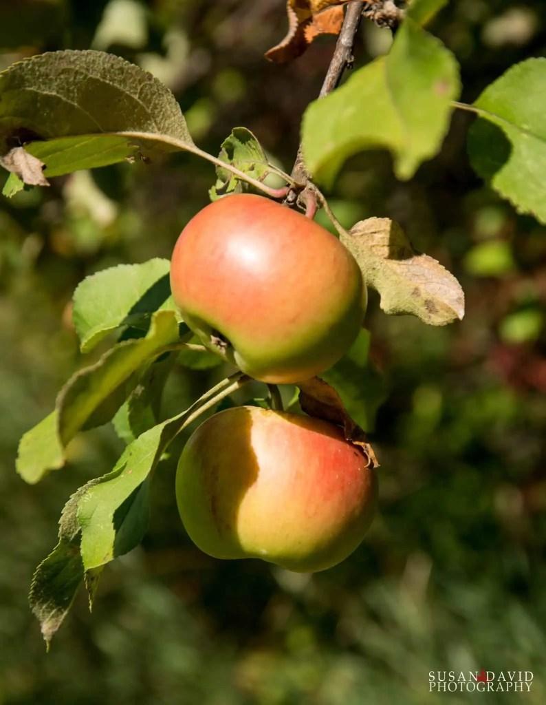 Wild-Apples.jpg