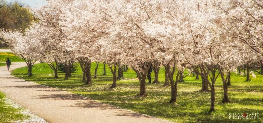 Raining-Cherry-Blossoms.jpg