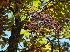 These thin stalks topped with clusters of berries were quite tall, maybe ten feet, and appeared in clusters around the forest