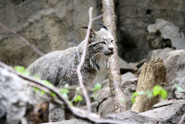 Montreal_BioDome_Lynx00