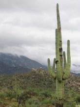 Saguaro in Monsoon