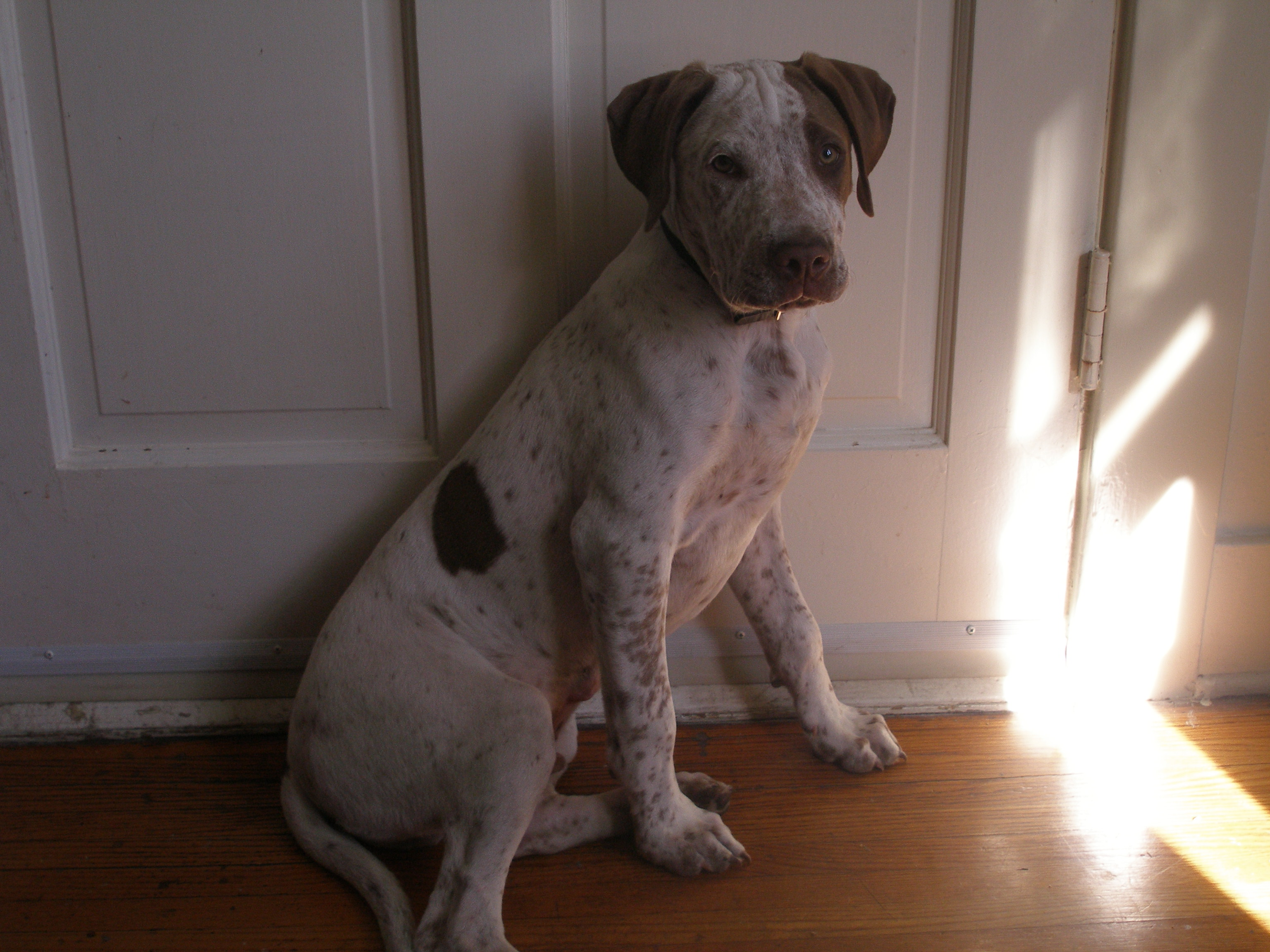 adopt a german shorthaired pointer