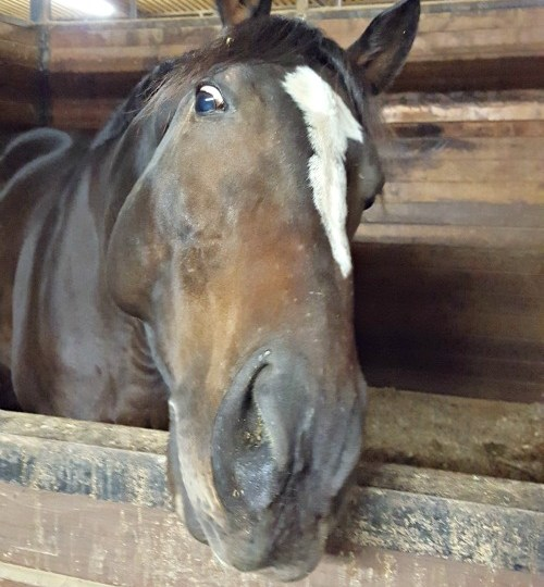 Thoroughbred in a box stall