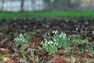 SGP_0219 Susan Guy_Calke Abbey_Garden_Snowdrop_14.01.16_1