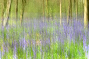 Susan Guy_Calke Abbey_Bluebells_Abstract_27.04.16_1 c