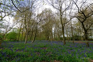 Susan Guy_Calke Abbey_Bluebells_Serpentine Wood_27.04.16_5 c