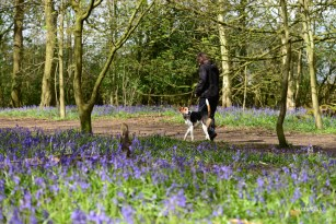 Susan Guy_Calke Abbey_Bluebells_Serpentine Wood_Dog Walker_27.04.16_2 c