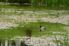Susan Guy_Lyveden_Wildlife_Mallard_17.05.16 c