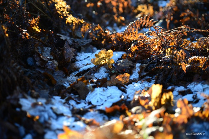 susan-guy_beacon-hill_frost-leaves_1-c