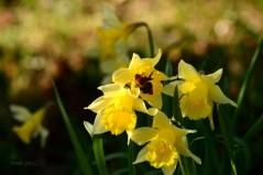 Susan Guy_Calke Abbey_Garden_Daffodil_09.03.17_1 c