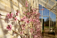 Susan Guy_Calke Abbey_Peach house_Blossom_09.03.17_1 c