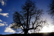 Susan Guy_Calke Abbey_Tree_Blue sky_09.03.17_1 c