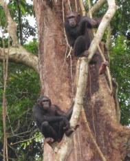 eiland chimps
