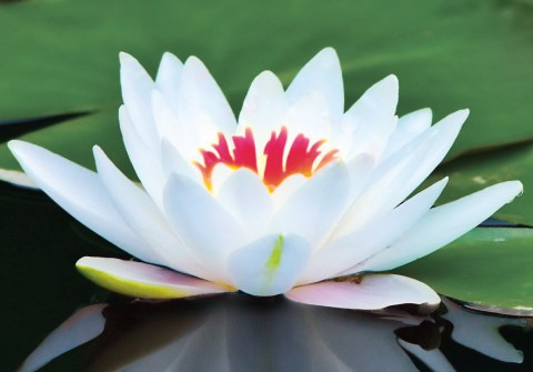 LotusFlowerWhite