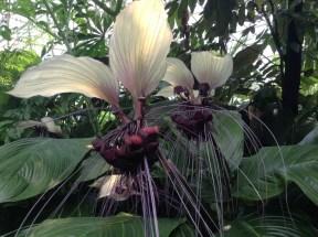 White bat flower 2