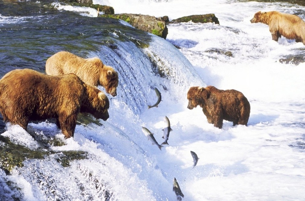 fishing bears