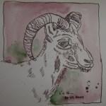 Geiß - Zeichnung von Susanne Haun - 20 x 20 cm - Tusche auf Bütten