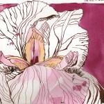 Schwertlilie 1 - Zeichnung von Susanne Haun - 17 x 24 cm - hnemühle 300g rau