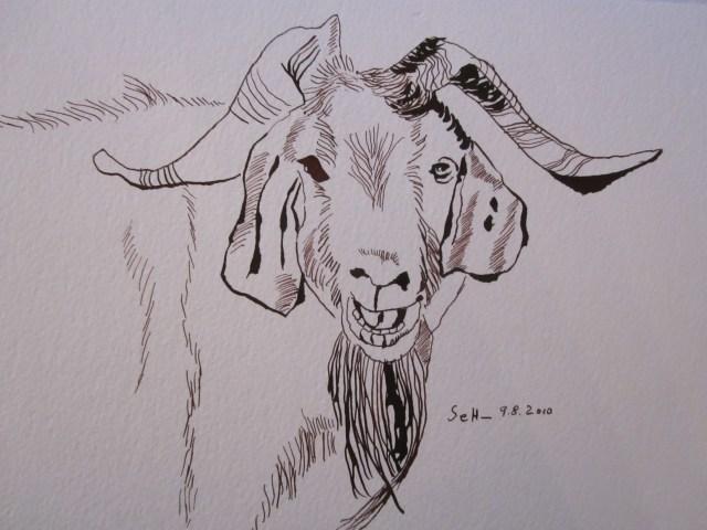Ziege - Zeichnung von Susanne Haun - 17 x 22 cm - Tusche auf Hahnemühle Bütten