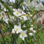 Jasmin im Garten meiner Mutter