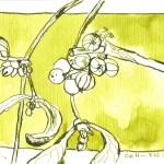 Mistelzweig von Heide - Zeichnung von Susanne Haun - 10 x 15 cm - Tusche auf Bütten
