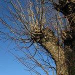 In Colbitz vor dem Haus der Niehoffs steht dieser Eindrucksvoll Baum - Foto von Susanne Haun