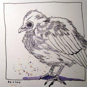 Junge Amsel - Zeichnung von Susanne Haun - 20 x 20 cm - Tusche auf Bütten
