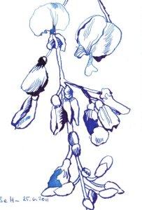 Blühender Wisteria - Zeichnung von Susanne Haun - Tusche auf Bütten - 17 x 12 cm