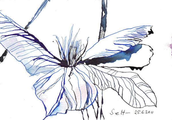 Klematis - Zeichnung von Susanne Haun - 17 x 22 cm - Tusche auf Bütten