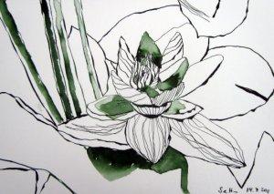 Seerose - Zeichnung von Susanne Haun - 17 x 22 cm - Tusche auf Bütten