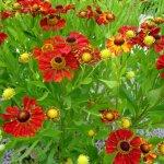 Rote Blumen im Garten - Foto von Susanne Haun