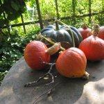 Kürbisse in Steffies Garten - Foto von Susanne Haun