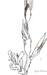 Gladiole - Zeichnung von Susanne Haun - Tusche auf Bütten - 24 x 17 cm